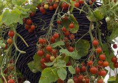 کشت میوهها، سبزیجات و گیاهان دارویی در گلدان و داخل آپارتمان