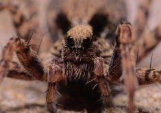 10 مورد جراحت و مرگ که توسط عنکبوتها ایجاد شدهاند