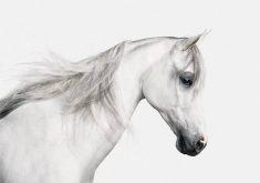 معرفی 10 نژاد اصیل و برتر اسب در جهان + تصاویر دیدنی از آنها