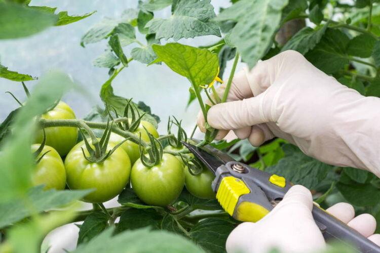 آموزش نحوه هرس کردن بوته گوجه فرنگی